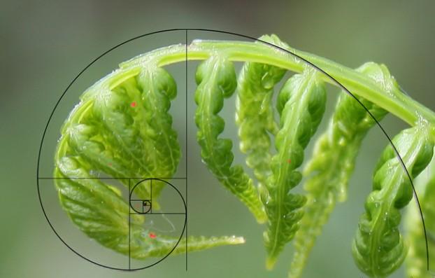Fibonachi-v-prirodata1-622x397